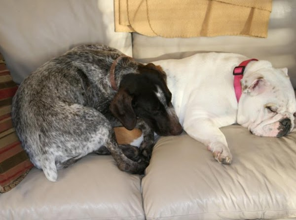 My other cousins, Maggie, the German short hair and Millie, the English bulldog. They are my cousins too and are family with Casper and Princess. Millie snores like a buzz-saw.