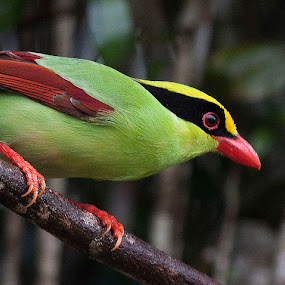 Green Magpie by Dato' Mohaiadin - Animals Birds ( 300mm f/2.8 malaysia bird nature, nikon )