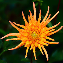 Dalhia n000138 by Gérard CHATENET - Flowers Single Flower