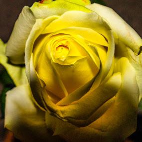 Mood by Raymond Fitzgerald - Flowers Single Flower ( yellow, yellow flower, photo, close, flower,  )