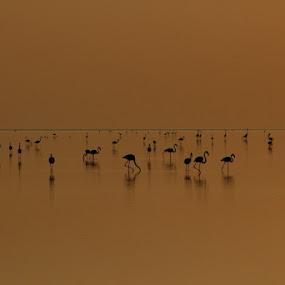 Lesser flamingos by Bhavya Joshi - Animals Birds ( lesser flamingos )