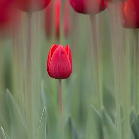 Tulipan by Evžen Takač - Nature Up Close Flowers - 2011-2013 ( holandsko 2012 )