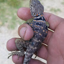 Eastern Collared Lizard (juvenile)