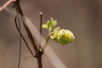 Photo: Grapevines leafing out