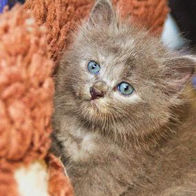 Malaysia Cat by Azira Ahmad - Animals - Cats Kittens