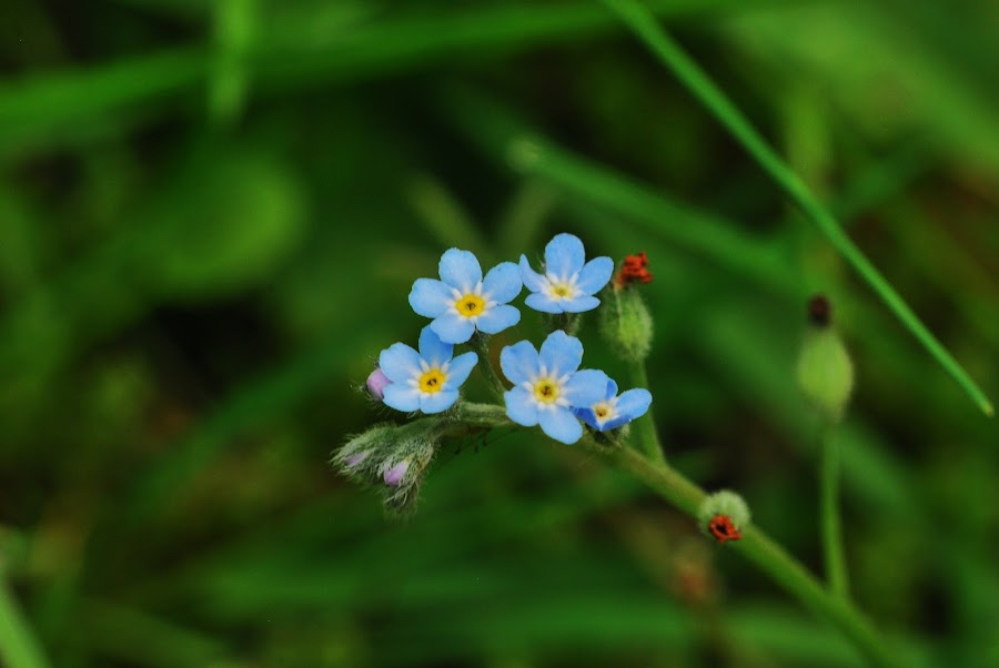 forget me nots by Jade Bracke - Flowers Flowers in the Wild ( macro, forget me not, photography, flower,  )
