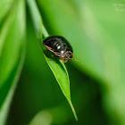 Brachyplatys subaeneus 亞銅平龜蝽
