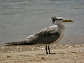 Photo: オオアジサシ Greater crested tern
