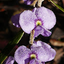 Granite Hovea