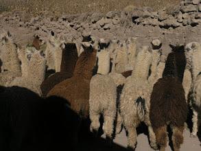 Photo: Alpacas