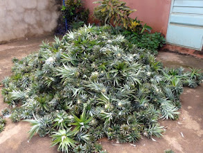 Photo: nous visitons la petite usine de A à Z dans la cour : un tas de têtes coupées d'ananas