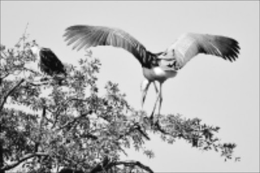 Fish Eagle and Marabou Stork in South Luangwa.  pic MARIANNE PRETORIUS.  10.06.2006. © Sunday Times.