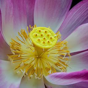 Lotus by Fitria Ramli - Nature Up Close Flowers - 2011-2013 ( macro, lotus, colors, nikon, flowers, close-up, , flower, nature )