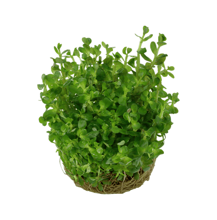 Rotala Indica Bonsai 1-2 Grow