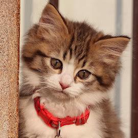 kitten by Lize Hill - Animals - Cats Kittens (  )