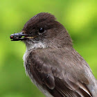 Eastern Phoebe (Catching A Fly)