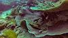 Top. Dive Sites, Kri Island, Raja Ampat, Papua. Wobbedong Shark