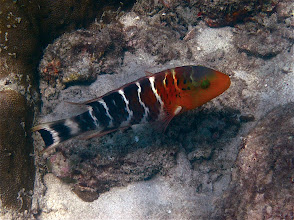 Photo: banded splendor wrasse (or redbreast wrasse), Koh Kai (Chicken Island)