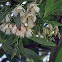 Hainan Elaeocarpus, 水石榕