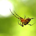 Silver leucauge spider