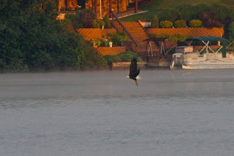 Photo: Bald eagle strike - 8/7/09