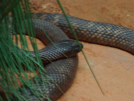 Tiger Snakes Wallpapers FREE