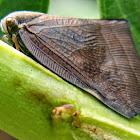 Black Ricaniid planthopper