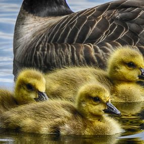 by Brenda Baird - Animals Birds (  )