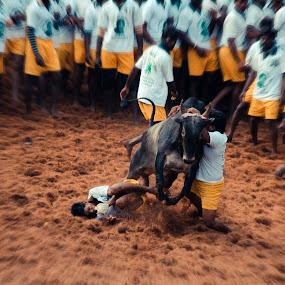 Catch Me If U Can  by Prithiviraj Kiridarane - People Street & Candids ( animals, peoples, streets, india, bull )
