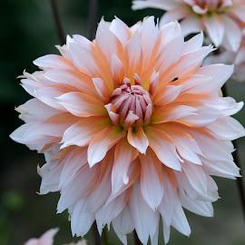 by Vladymyr Sergeev - Flowers Flower Gardens