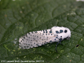 Photo: Leopard Moth