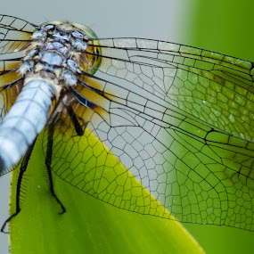 by Andy Goo - Novices Only Macro ( macro, dragon fly, nature, wings, insect )