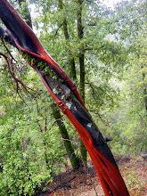 Photo: Manzanita tree