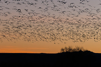 Photo: Snow geese on the move before sunrise; Bosque del Apache