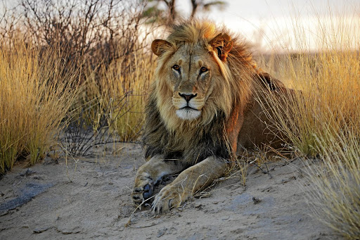 Rangers are still searching for a lion which went missing from the Karoo National Park on February 15, but from Friday they will have high-tech help.