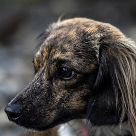 by Judy Heitzman - Animals - Dogs Portraits ( mazie portrait )