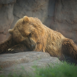 Sleeping Brown Bear by Eva Ryan - Animals Other Mammals ( bear, resting, okc zoo, oklahoma, tired, lazy, sleeping, paws,  )