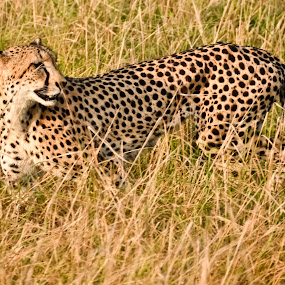 Female Cheetah by Bill Frank - Animals Lions, Tigers & Big Cats
