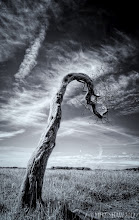 Photo: Gandalfs Staff  A much older shot that I cant go back and retake, this is a series of trees that are out in the open and have been twisted over the years by the elements. Recent bad winters and other weather have taken their toll and not many of the trees are standing anymore.  I fell in love with the twist of this tree and the way it hooked back on itself, it was a tree out of fantasy and would not look out of place in the Shires from Lord Of The Rings.           #thewhiterabbit #mikefshaw #mikeshaw #landscapes