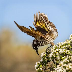 New Holland Honeyeater by Erica Siegel - Animals Birds ( bird, honeyeater, feeding bird, new holland honeyeater, bird on flower )