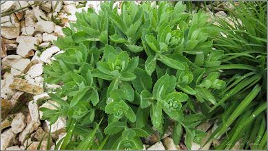 Photo: Norocel (Sedum Telephium) - din Turda, Piata 1 Deembrie 1918, spatiu verde - 2019.05.16