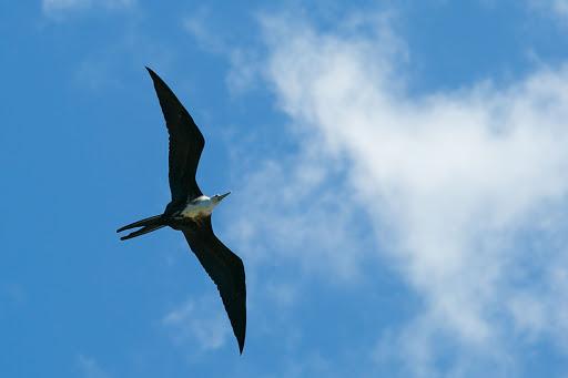 Dominica-shorebird-best.jpg - A shorebird circles above in Dominica.