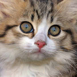 Little Missy by Lize Hill - Animals - Cats Kittens (  )
