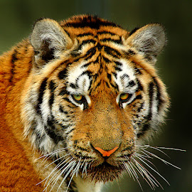 The tiger by Gérard CHATENET - Animals Lions, Tigers & Big Cats