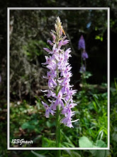 Photo: Orchis de Fuchs, Dactylorhiza fuchsii