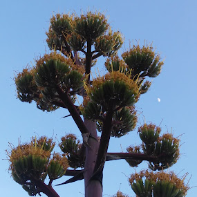 Agave Century Plant and the Moon. by Chuck Cross - Flowers Tree Blossoms
