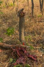Photo: A duiker dismantled Um bambi desmanchado