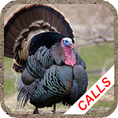 Turkey hunting calls: Hunting sounds Mating calls.