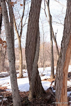 Photo: Together (trees)