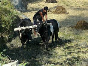 Photo: auch darum sind die Kühe heilig